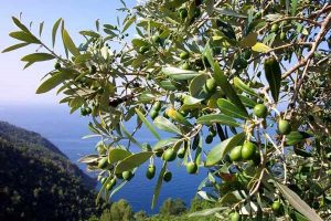 amalfi-coast-olives